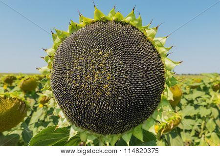 sunflower with black seeds after blooming