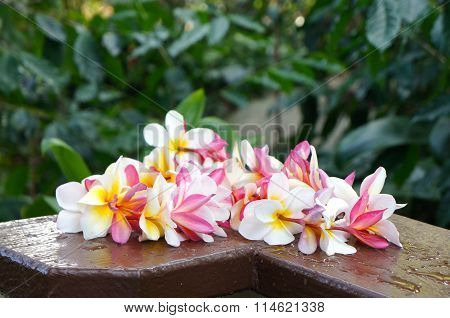 Colorful Hawaiian Plumeria Lei