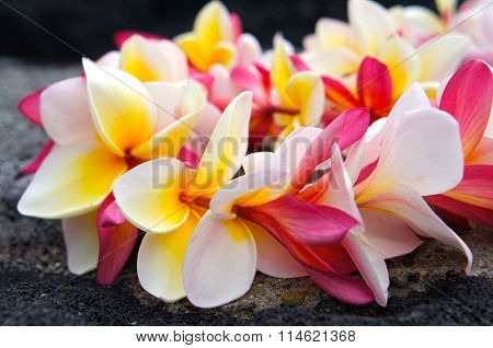 Hawaiian Colorful Plumeria Lei