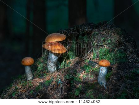 Edible mushroom. Leccinum aurantiacum with orange cap growing in forest in Russia