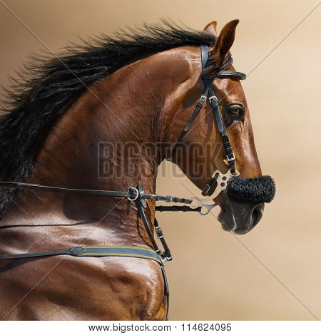Portrait of a sports stallion in a hackamore on blurry backgrounds