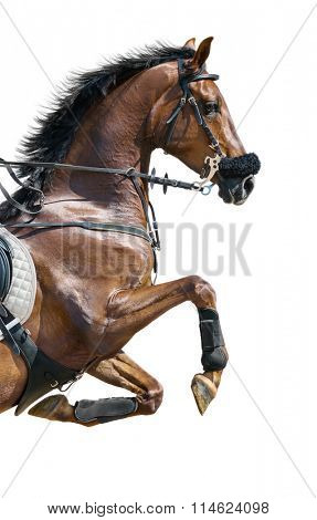 Close-up of chestnut jumping horse  in a hackamore on white background