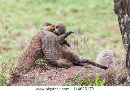 Banded mongooses on the termite mound
