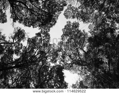 Beech trees canopy in black and white