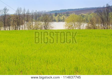 Green Field Of Wheat Against Leafless Trees Frozen Lake