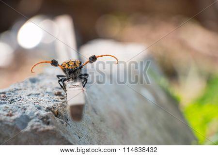 Longhorn beetle on branch, dirty by soil