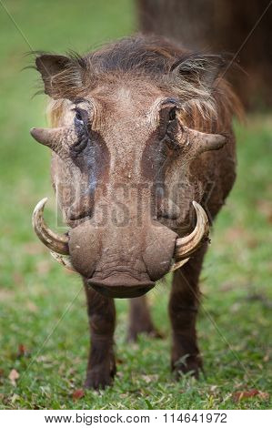 Warthog Grazing on grass in Hwange National Park