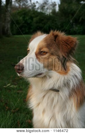 Blue Merle Collie Dog