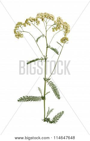 Pressed And Dried Flower Yarrow. Isolated On White Background.