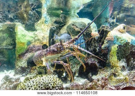 Spiny Lobster In The Marine Laboratory