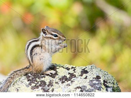 Siberian Chipmunk (tamias Sibiricus)