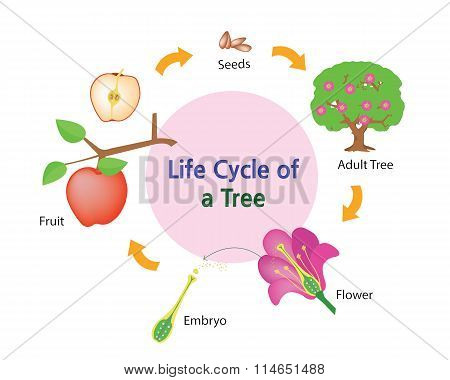 life cycle of a tree