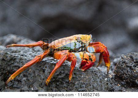 Sally lightfoot crab (Grapsus Grapsus) on black lava rock,