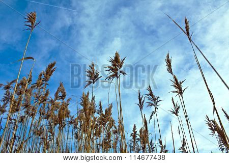 Dry Panicle Reed