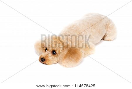 Peach Toy Poodle Lying With His Head Down.