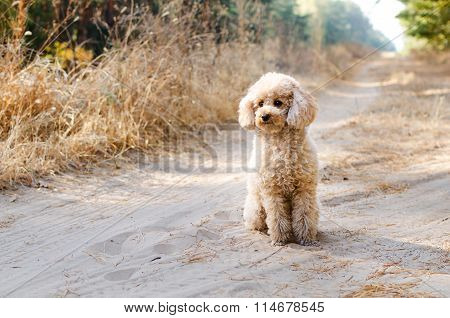 Small Poodle Sitting In The Woods
