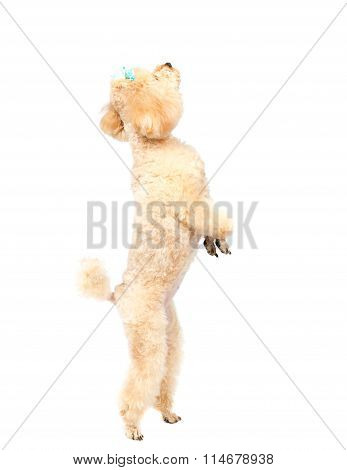 Toy Poodle Stands On His Hind Legs