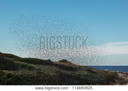 Murmuration Of Birds On The Coast Of Corsica