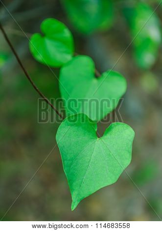 The Heart-shaped Leaves.