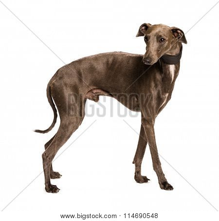 Sighthound isolated on white background