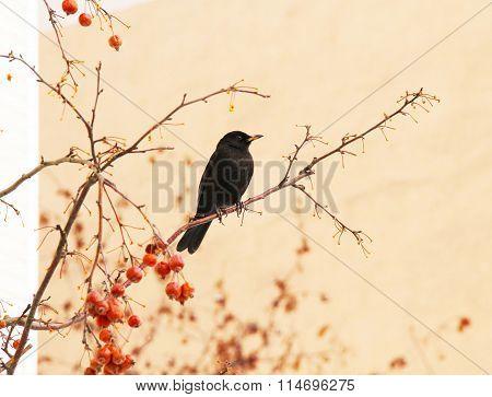 blackbird on the cherry tree
