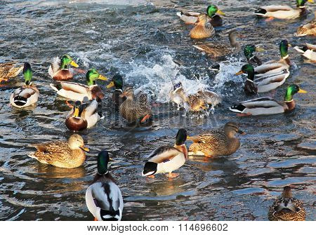 flock of ducks
