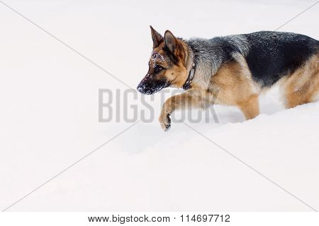 Adult German Shepherd hunting on snow