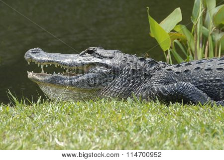 Krokodil in Everglades