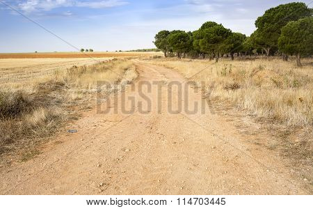 rural landscape with a country road, a pinewood and a blue sky on a summer day