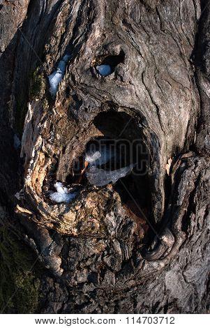 Hole In The Tree Oak