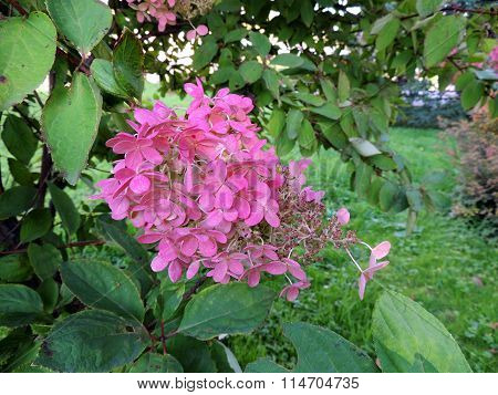 Pink cluster of shrubs Hydrangea macrophylla