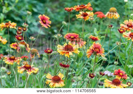 Beautiful Bright Flowers Of Echinacea