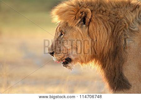Portrait of a male African lion (Panthera leo), Etosha National Park, Namibia