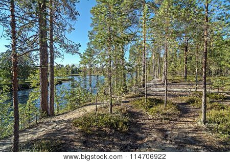 Pine Forest On The River Bank.