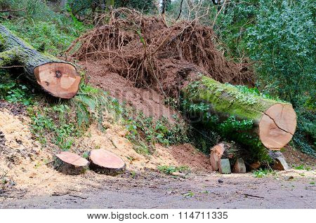 Fallen Trees, Mount Edgcumbe Country Park
