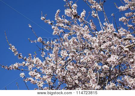 Almond Blossoms Background