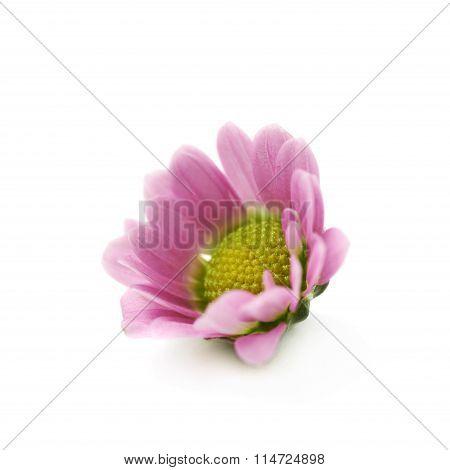 Single chrysanthemum flower bud isolated