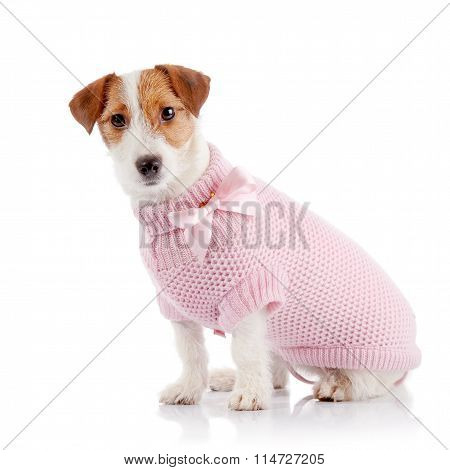 The Small Doggie Of Breed A Jack Russell Terrier In A Pink Sweater