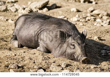 Sleeping Wild Boar
