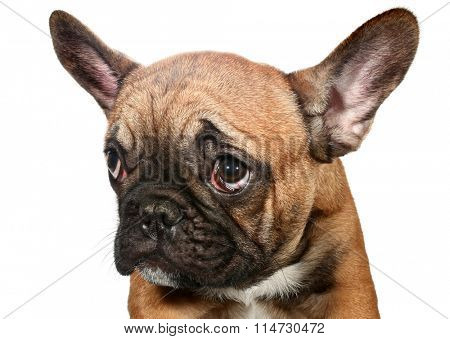 Cute little sad French bulldog puppy