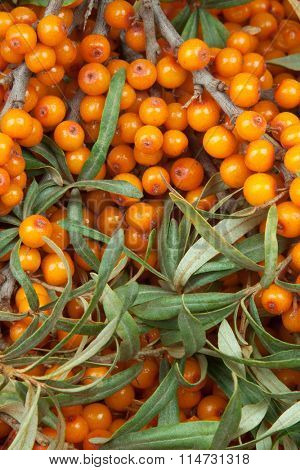 orange  sea-buckthorn with green twig