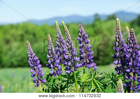 lupine blossom in spring