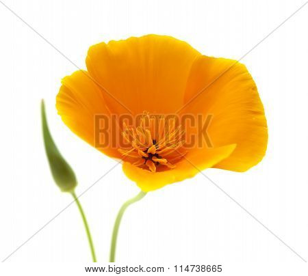 Californian Poppy, Eschscholzia Californica