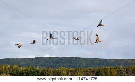 Flock of Sandhill Cranes (Grus canadensis) in Flight