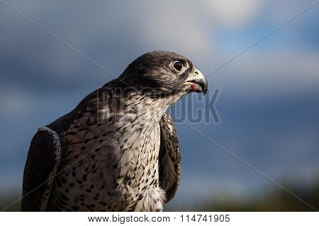 Gyrfalcon eating bird