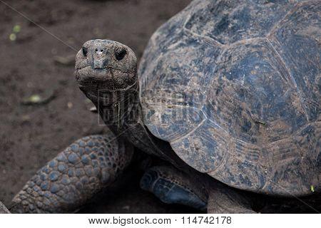 Giant tortoise at Isabela Island