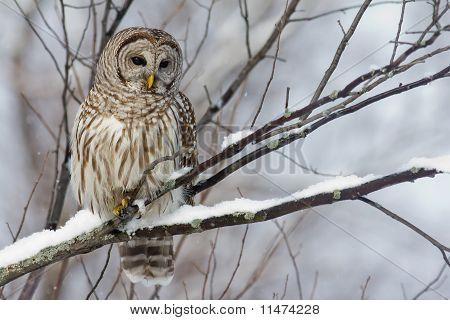 Barred Owl with a light snowfall.