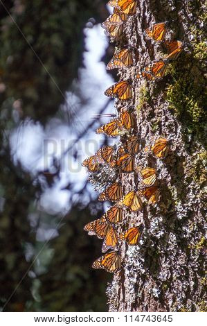 Monarch Butterflies on tree trunk in Michoacan, Mexico