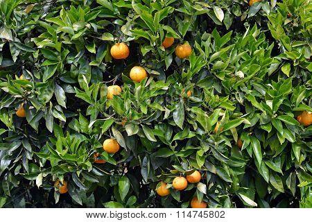 Orange Tree & Fruit Closeup Background