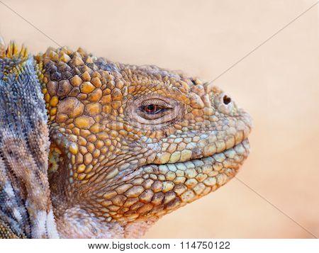 Land Iguana (Conolophus subcristatus), Galapagos Islands